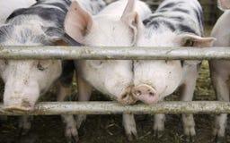 Curios pigs Stock Photography