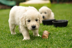 Curios puppy Stock Image