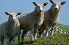 Curios sheeps in  the summertime. Curios sheeps in the summer Stock Photography