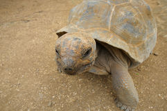 Curios turtle Stock Photography