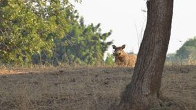 Curios warthog stock photography