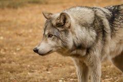 Curiosamente mirando el wolfdog en el santuario de Yamnuska, Canadá, para entrenar difícilmente al alto contenido wolfs, perro de foto de archivo