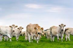 Curiosamente olhando vacas brancas e bege Foto de Stock
