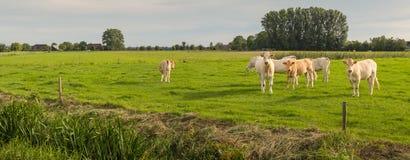 Curiosamente olhando vacas em um prado Imagem de Stock