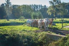 Curiosamente olhando vacas no alvorecer fotos de stock royalty free