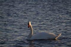 Curiosidad de los cisnes foto de archivo libre de regalías