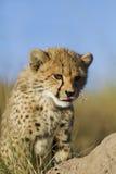 Curiosidad del guepardo Fotos de archivo