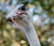 Curiosidade de Ostrich's imagens de stock