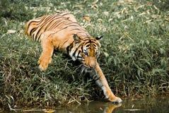 Curiosidade do tigre fotografia de stock