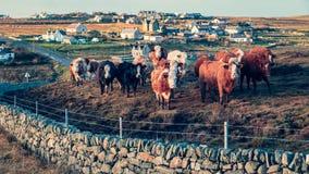 Curiosidades, um rebanho de vacas escocesas imagem de stock