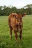 Curiosità del vitello Fotografia Stock