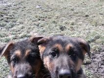Curiosità di giovani cani fotografia stock libera da diritti