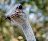 Curiosità di Ostrich's immagini stock