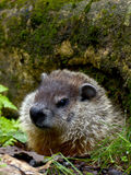 Curiosity. A curious groundhog peeks his head out of it's hole to see what is going on Royalty Free Stock Photo