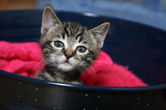 Curiosity. A curious little tabby kitten Royalty Free Stock Images