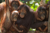 Curiosity. The large family orangutans at Singapore Zoo Royalty Free Stock Images