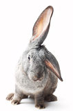 Curiosity. Portrait of curious rabbit on white (shallow DOF Royalty Free Stock Photo