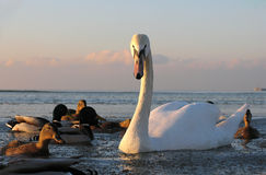 Curiosity. A beautiful swan surrounded by ducks curiously looking at the photographer Royalty Free Stock Image