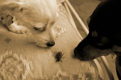 Curiosity is bliss. Two doggies roughing up a japanese beetle......my money's on the beetle Stock Photos