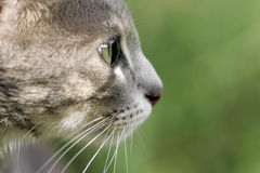 Curiosity cat Royalty Free Stock Photography