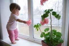 Curiosity childness. curious baby girl full body in pink clothes one year old on the window with geranium flower. Inquisitive child at home at rainy day Stock Image