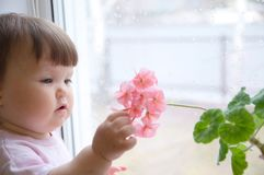 Curiosity childness. curious baby girl portrit in pink clothes one year old on the window with geranium flower. Curiosity childness. curious baby girl portrait Royalty Free Stock Photography