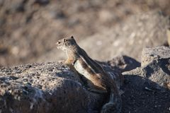 Curiosity. Chipmunk carefully examines the slopes of the mountain stream. Fluffy animal royalty free stock photos