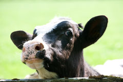 Curiosity cow Stock Photos