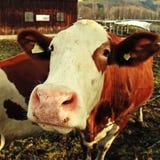 Curiosity cow on Alpine farm Stock Photography