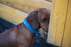 Curiosity dachshund with blue dog-collar royalty free stock photo