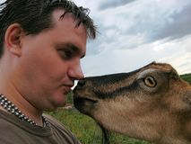 Curiosity Goat. =). Goat need to have a friend. Curiosity goat. Goat wants a humans friendship Royalty Free Stock Image