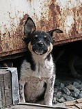 Curiosity homeless puppy. Homeless puppy under old rusty garage Royalty Free Stock Image