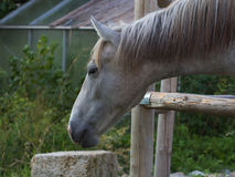 Curiosity. The horse stretches his head curiously through the barrier Royalty Free Stock Photography