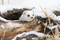 Curiosity killed the cat. Short-tailed weasel looking out of den via hole in a log Stock Photography
