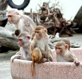 Curiosity killed the monkey. Monkeys sitting in concrete bowl at zoo, curiously looking at what is happening around them royalty free stock photo