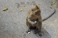 Curiosity of Monkey. During eating corn, some sound irritates his activity, so he suddenly looks to that point Stock Image