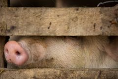 The curiosity of a pig Royalty Free Stock Photos