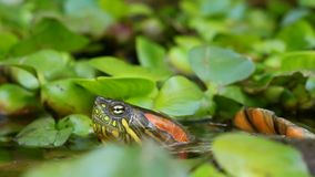 Curiosity. Red Eared Slider Turtle In The Wild, Appearing From The Water stock footage