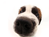 Curiosity of a Saint Bernard Puppy Stock Images