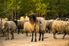 The curiosity of a sheep stock images