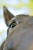 Curiosity. Up the nose view of a curious brown horse Royalty Free Stock Image