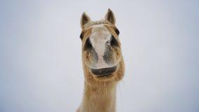 Curioso come un cavallo Fotografie Stock Libere da Diritti