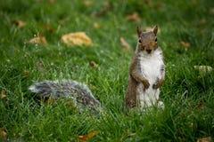 curioso di scoiattolo Immagini Stock Libere da Diritti