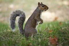 curioso di scoiattolo Fotografia Stock Libera da Diritti