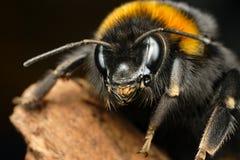 Curioso manosee la abeja imagen de archivo libre de regalías