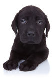 Curioso pouco Labrador preto Foto de Stock Royalty Free
