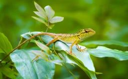 Curioso, salvaje, Forest Lizard Keeping Watch en Tailandia foto de archivo libre de regalías