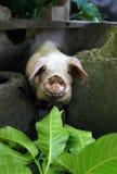 Curioso un cerdo Foto de archivo libre de regalías