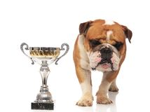 Curiosu english bulldog looks down to side near cup. Curious english bulldog looks down to side near cup while standing on white background stock photo