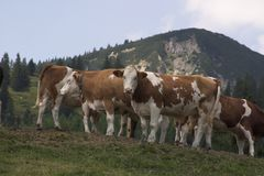 Curiour cows. Summer vacation in tirol alps Royalty Free Stock Photos
